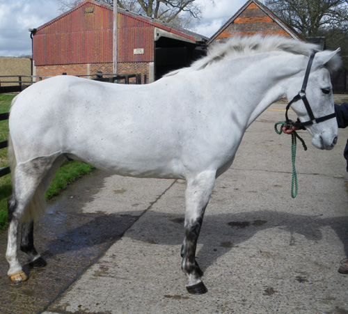 Full up 15hh 7yo grey