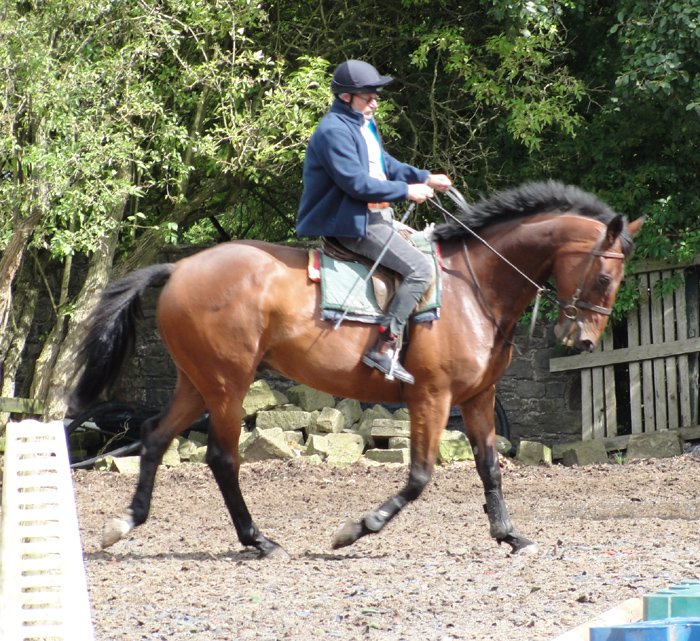 16 HH 4yrs Genuine Chestnut