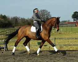 17.1hh 11 yo Bay Gelding by Florestan