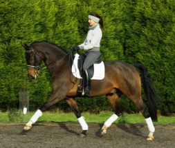 16hh 11yo Oldenburg Gelding