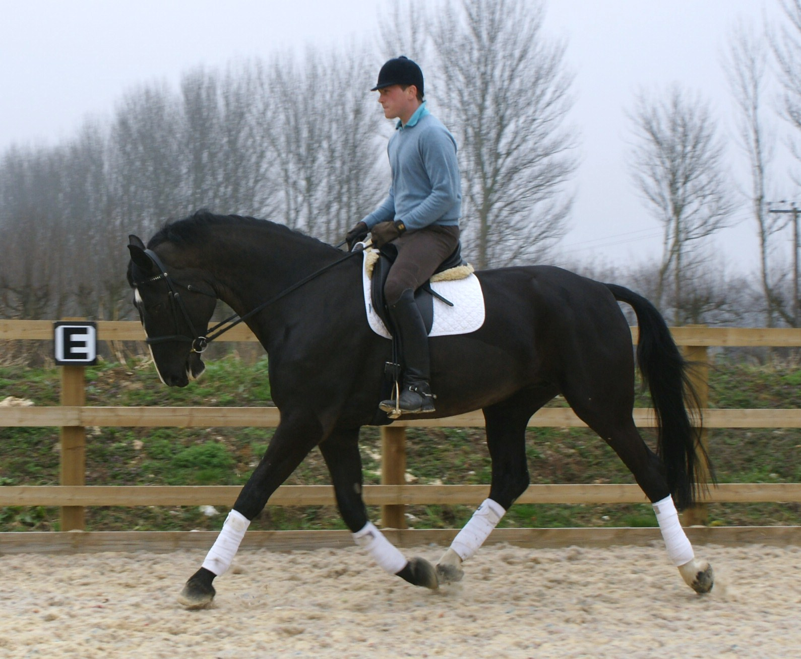 Stunning 17.2hh Black 5 year old mare