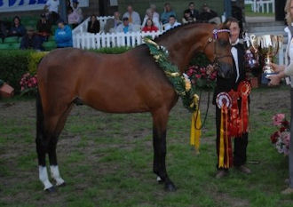 Novice Show Pony  Talponciau Enchanter